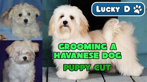 havanese with puppy cut grooming a havanese puppy cut