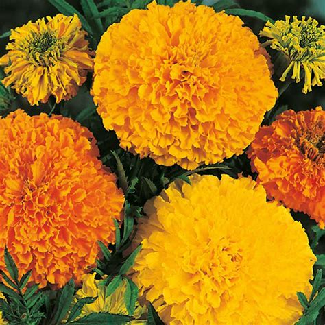Country Value Marigold Mixed marigold crackerjack mixed seeds from mr fothergill s seeds and plants