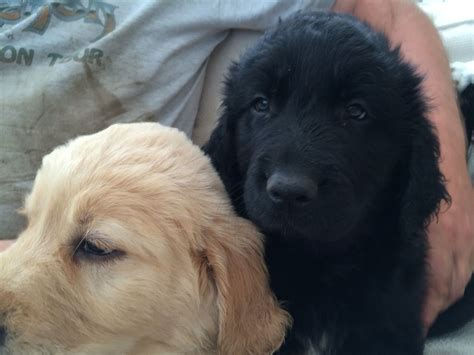 black golden retriever puppies for sale golden retriever labradoodle puppies for sale canonbie dumfriesshire pets4homes