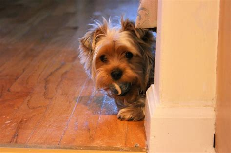 yorkie puppies cost billy the yorkie poo small breeds picture