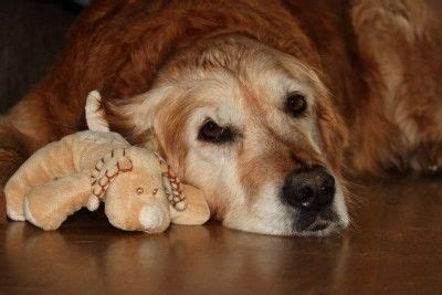 signs of cancer in golden retrievers pin by kathy on golden retriever 6