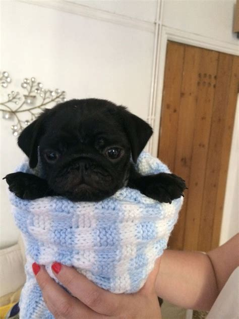 12 week pug puppy beautiful 12 week black pug puppy kc registered feltham middlesex pets4homes