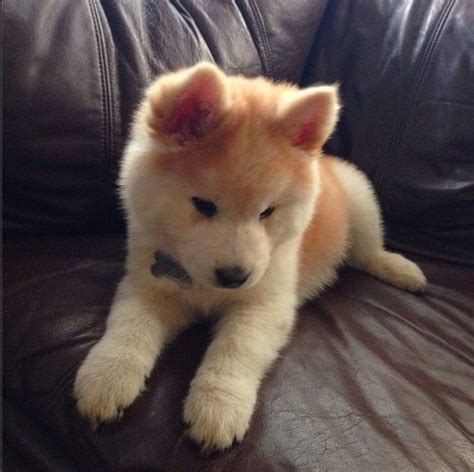 husky chow mix puppies white chow husky mix www imgkid the image kid has it