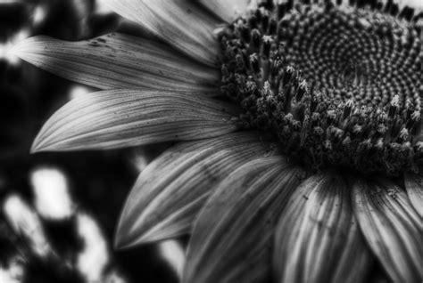 imagenes y fotos en blanco y negro las mejores fotos de girasoles en blanco y negro