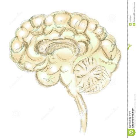 Imagenes Libres Cerebro | dibujo del cerebro en blanco im 225 genes de archivo libres de