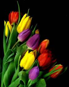 tulip colors rainbow tulips my for all tulip colors