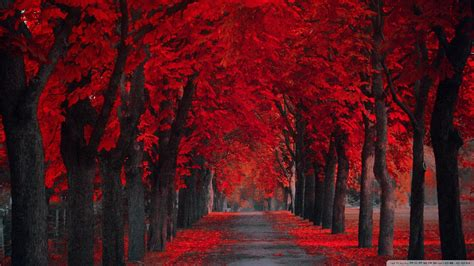 wallpaper extremly red leaves autumn    full hd