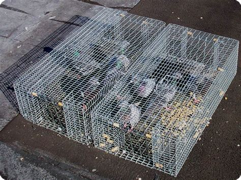 how to trap pigeons for building cage traps images