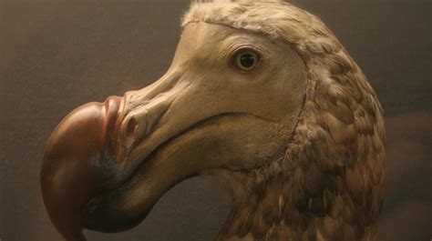 the dodo what really happened to the dodo