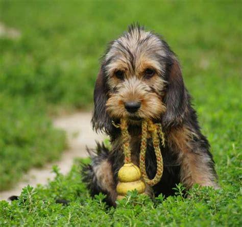 otterhound puppies otterhound breeds picture