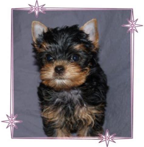 free puppies in ri dogs rhode island free classified ads
