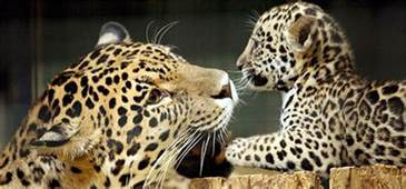 How Many Babies Does A Jaguar Animals In Costa Rica Jungles