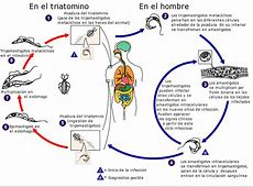 Tripanosomatidos :: Blog de parasitologia Rangeli