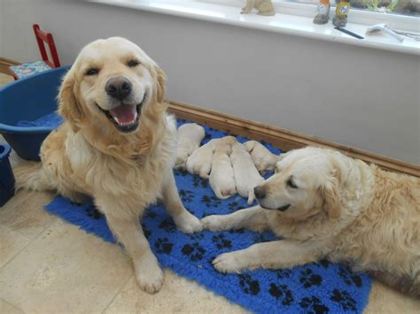 golden retrievers for sale in golden retriever puppies for sale crediton pets4homes