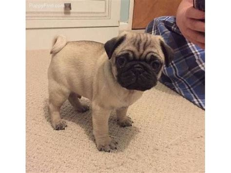 pugs for sale albany ny best 25 pugs for adoption ideas on pug puppies for adoption pug puppies
