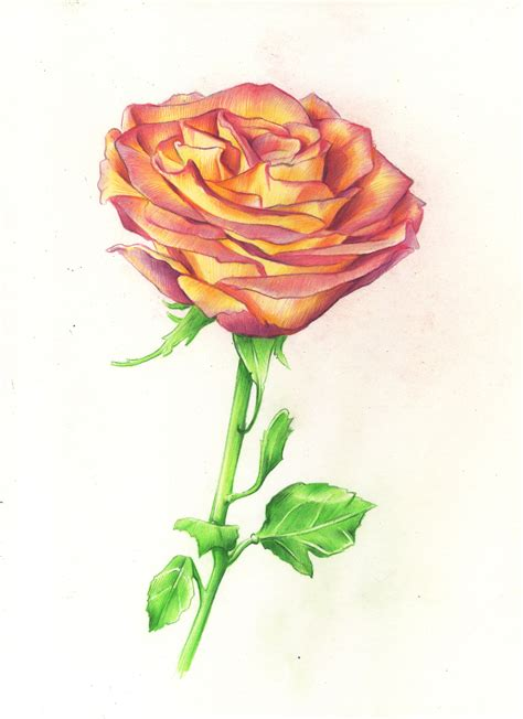 draw and color drawing roses in graphite pencil and colored pencil