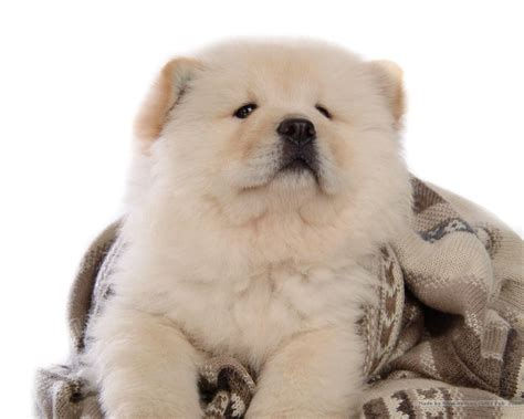 puppy chow chow chow puppy wallpaper puppies wallpaper 13936797 fanpop