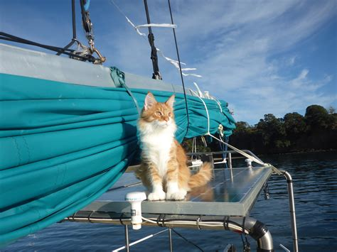 pictures of world cat boats maine coon acts as deaf sailor s ears at sea adventure cats