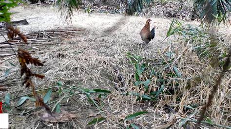 Anakan Ayam Hutan Betina ayam hutan pikat betina 74 hd