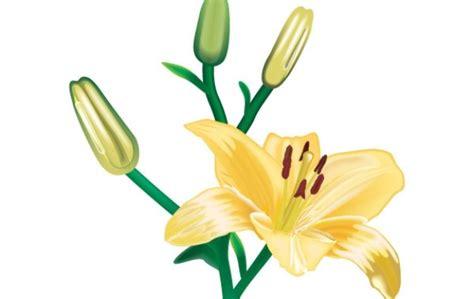imagenes de lilis blancas lili flores vector 1 descargar vectores gratis