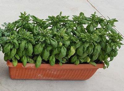 come si coltiva il basilico in vaso basilico coltivazione in vaso