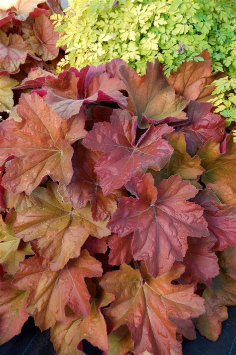 southern comfort coral bells plantfiles pictures coral bells alumroot coralbells