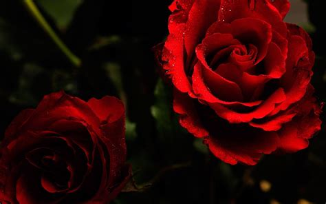 theme black rose roses wallpapers for desktop wallpaper cave