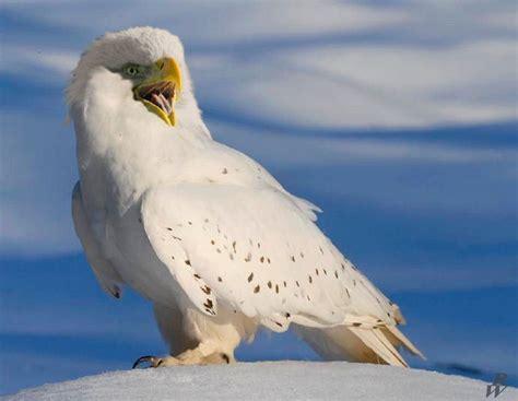 bald owl by dwarf4r on deviantart