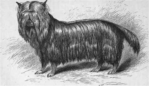 original yorkshire terrier criadero la pureza el yorkshire terrier desde los