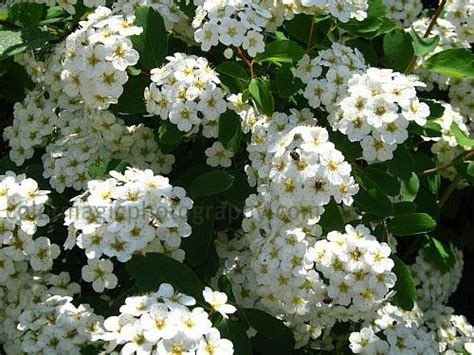 shrub with white flowers spirea shrubs bridal wreath