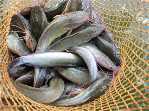 Makanan Ikan Hias Layar januari 2013 atjeh meurunoe