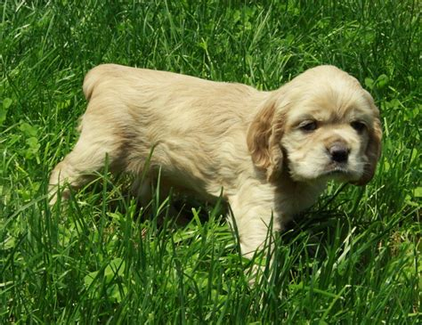 american cocker spaniel puppies american cocker spaniel puppy for sale picture 02 puppies for sale dogs for sale