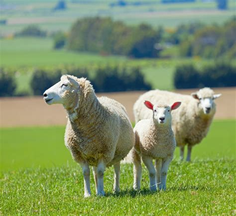 austrailian sheep new investment steps being taken to increase western