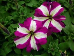 bravo purple star petunias