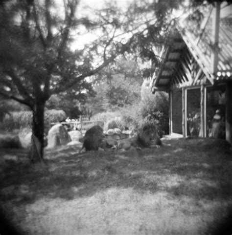 film with a black lion holga 120 film black and white photo lions at franklin