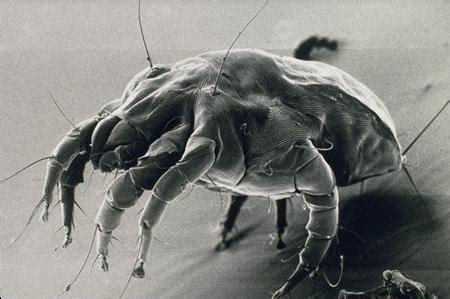acari materasso sintomi allergia agli acari sintomi e rimedi dottor sport