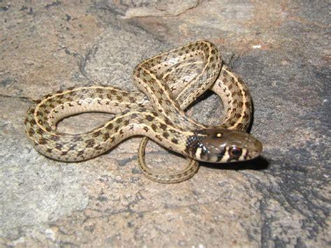 Garden Snake Arizona Checkered Garter Snake