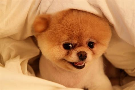 what are pomeranians known for boo the pomeranian animals