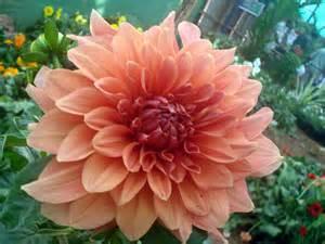 flower homes dahlia flowers