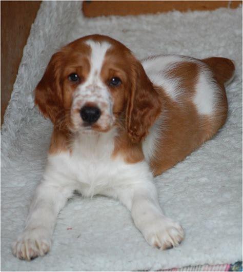 spaniel puppies rescue springer spaniel rescue breeds picture