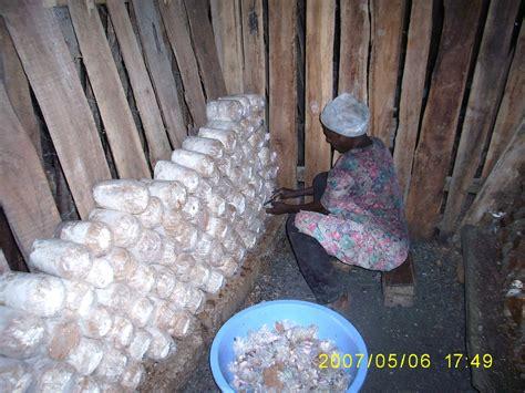 ghanas mushroom crisis oyster mushroom farmers seek