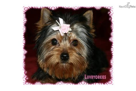 yorkies for sale omaha ne terrier yorkie for sale for 700 near omaha council bluffs nebraska