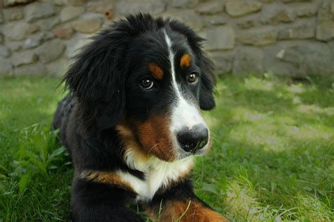 bernese mountain lifespan bernese mountain all about puppies and dogs breeders rescue price lifespan