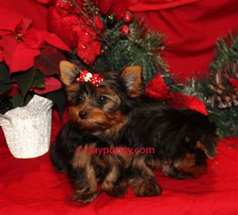 taking care of a yorkie puppy teacup yorkie puppy information ehow design bild