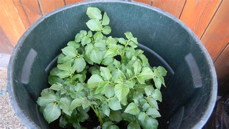 growing potatoes in a trash can pubwages