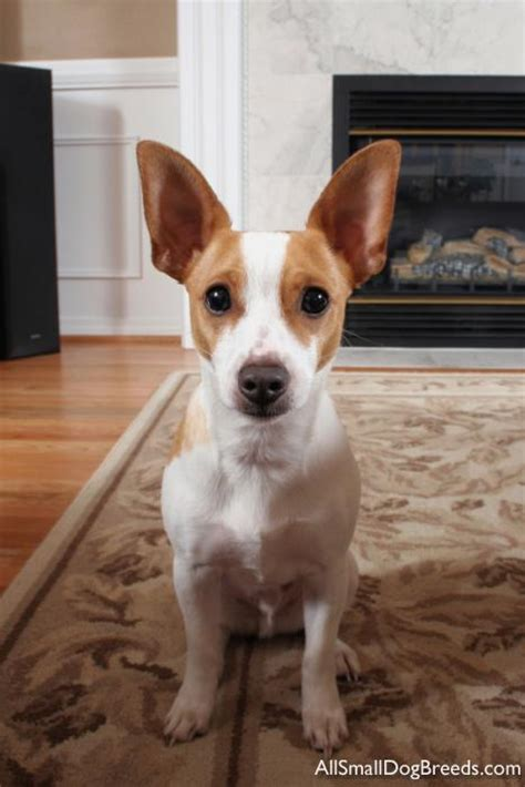 Does A Rat Terrier Shed by Rat Terrier Sheds Much 28 Images Dachshund Terrier Mix