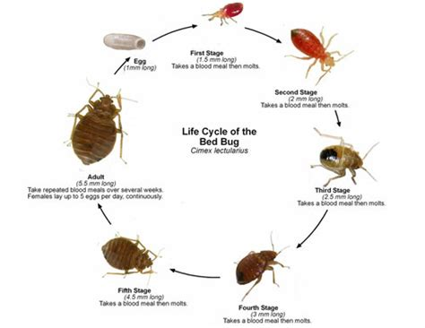 How Do Bed Bugs Reproduce by Bed Bug Cycle Reproduction Gallery Bed Bugs Nyc