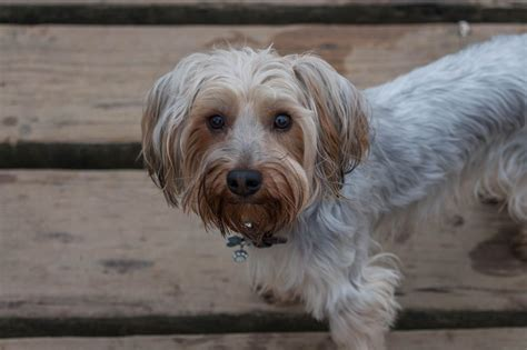 yorkie stud terrier for stud beccles suffolk pets4homes