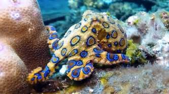 octopus colors blue ringed octopus its bright warning colors
