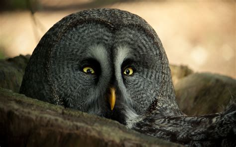grey owl wallpaper the great gray owl stare wallpaper and background image